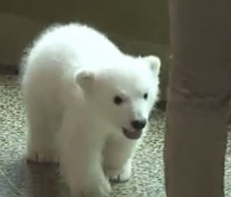 The Buffalo Zoo's polar bear cub met the public on Friday.