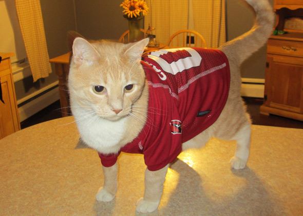 Easton the cat wears a Cardinals jersey