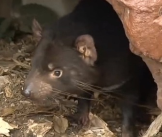 A new drug could help slow deadly facial tumors in Tasmanian devils.
