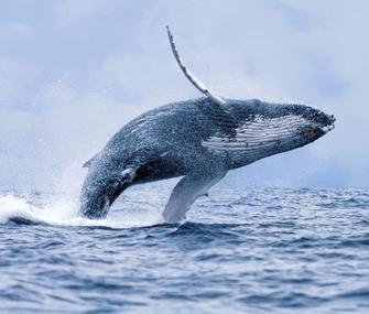 Humpback whale makes comeback in Australia