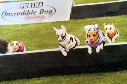 Jack Russell dogs racing at Purina