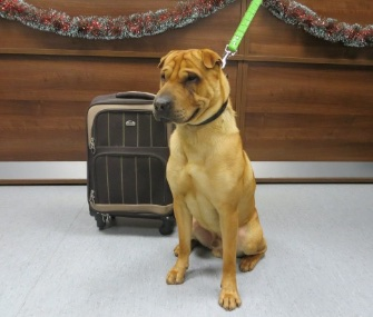 Kai, a Shar Pei mix, was abandoned at a Scottish train station Friday with a suitcase full of his belongings.