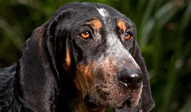 Bluetick Coonhound Breed Bluetick Coonhound House Dog