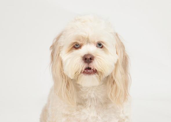 Lhasapoo designer dog