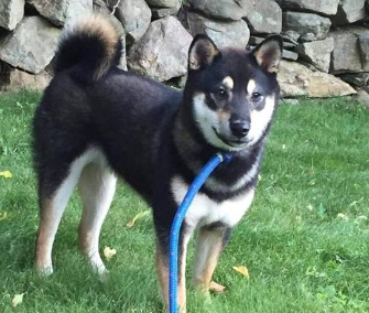 Ryder, a Shiba Inu puppy, is back home with his family after falling overboard into the ocean.