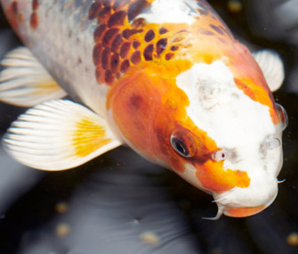 Koi don 39 t confuse the large colorful carp with goldfish for Big koi fish