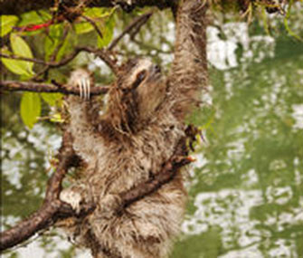 Panama's pygmy three-toed sloth is among the 100 most endangered species in the world, according to the new list.