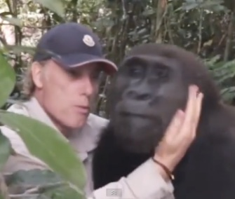 After 12 years, Damian Aspinall reunited with a gorilla he raised and released into the wild in West Africa.