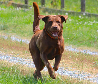 Labrador Retriever running in field