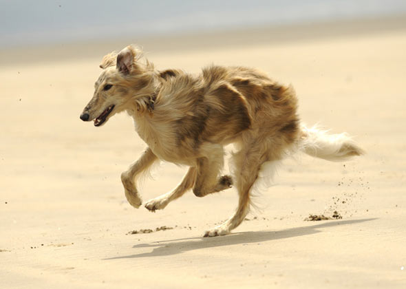 Silken Windhound