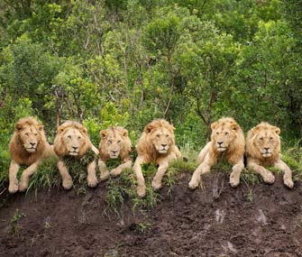 6 lions in a row