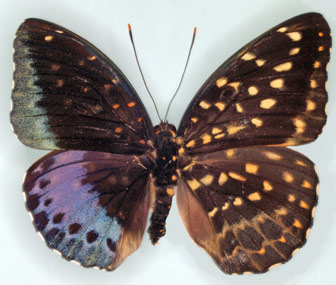 Half-Male Half-Female Butterfly