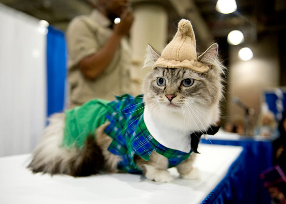 Munchkin from the Land of Oz Meet the Breeds Cat Fashion Show