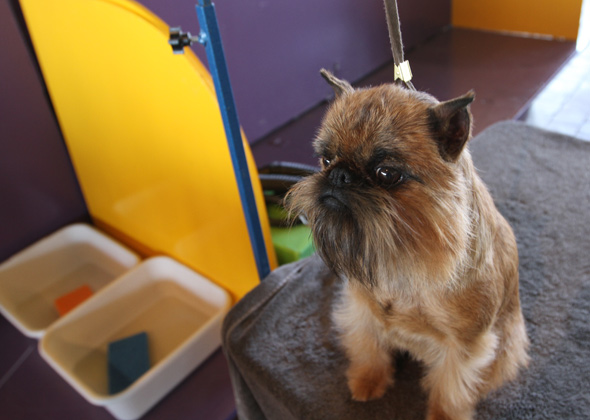 Westminster Bacon the Brussels Griffon