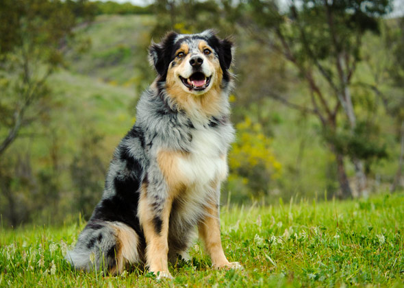 Australian Shepherd Dog Breed