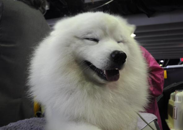 Smiling American Eskimo
