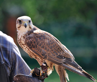 Falcon with faloncer