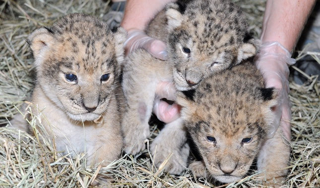 Three lion cubs were born at Zoo Miami on Sept. 24.