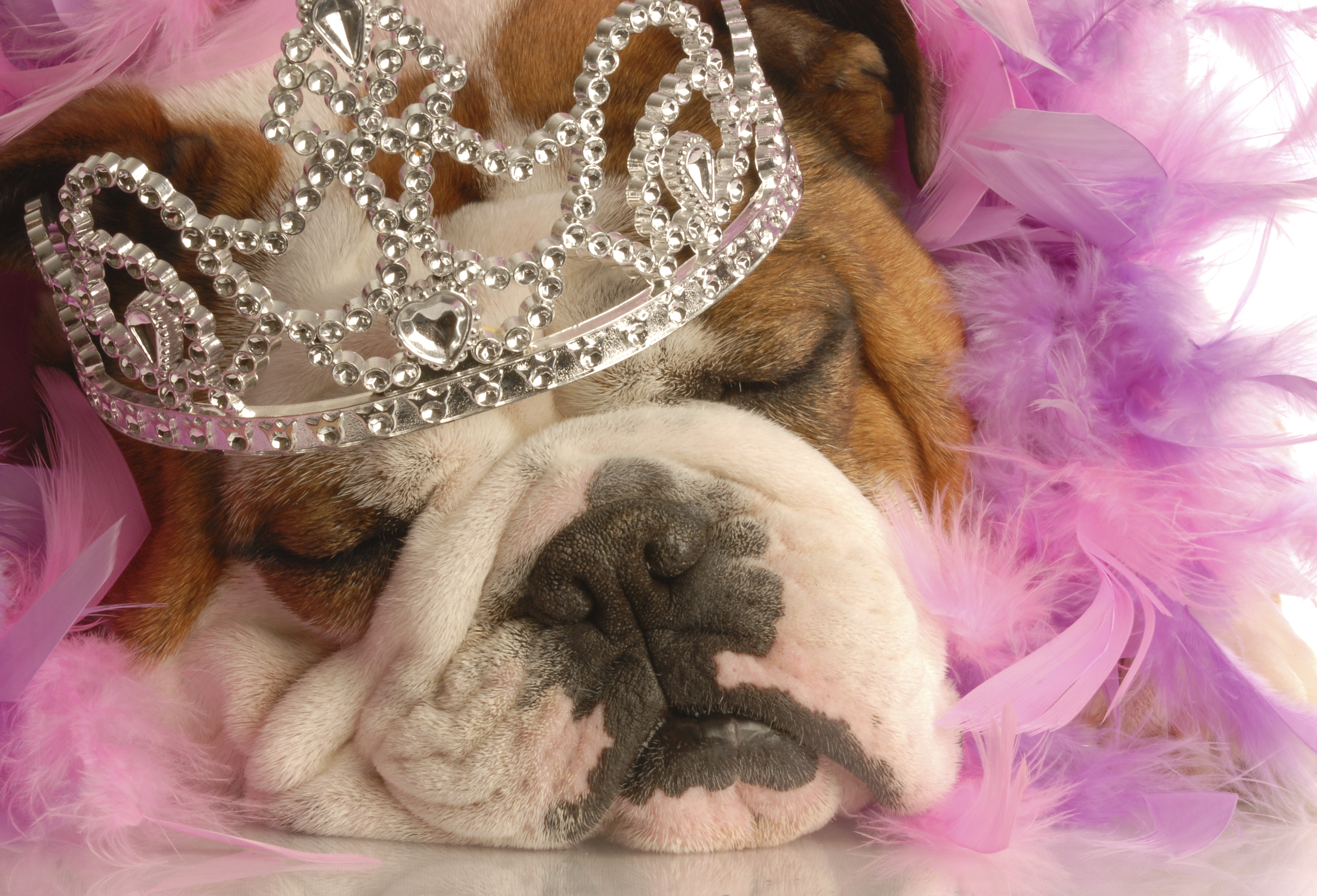bulldog in a tiara and boa