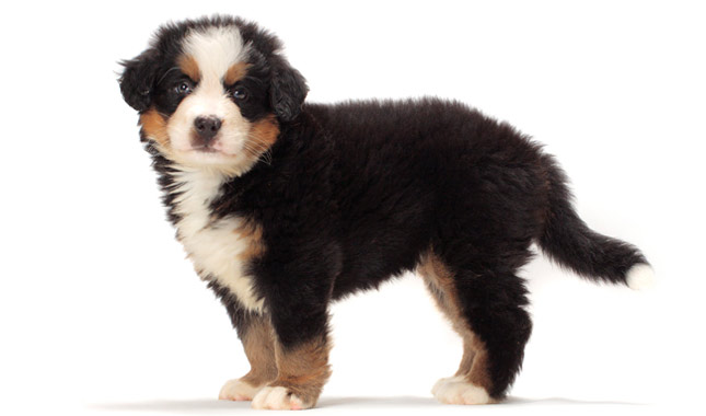 Are Bernese Mt Dogs Good With Cats