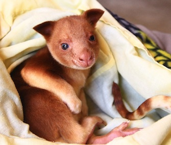 Orphaned tree kangaroo Makaia survived with the help of a wallaby surrogate mom.