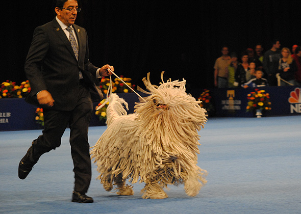 National Dog Show Komondor