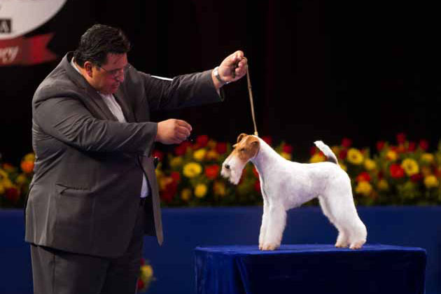 Wire Fox Terrier show dog