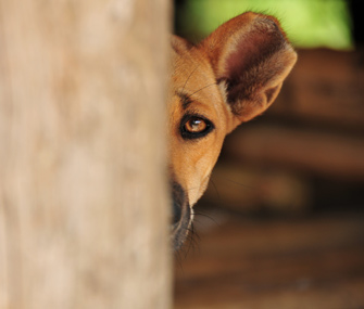 scared-dog-hiding-thinkstock-155230016-335sm91213 - Peek-a-boo! - Introduce Yourself