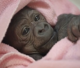 The animal care team at the San Diego Zoo Safari Park is closely monitoring a baby gorilla born via c-section last week.