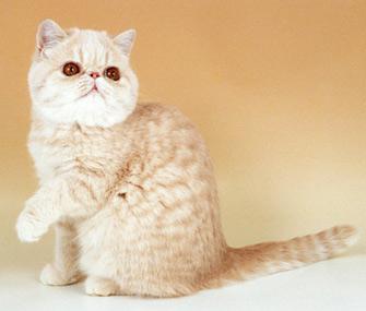 Cream Tabby Exotic Shorthair