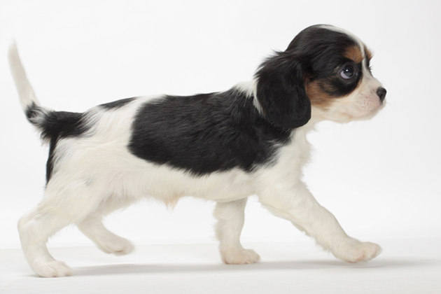 Cavalier King Charles Spaniel  Sturdy Little Snuggler