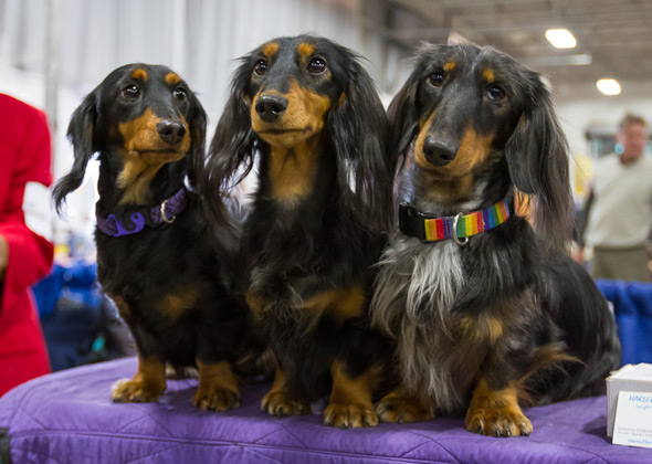 Dachshunds at National Dog Show