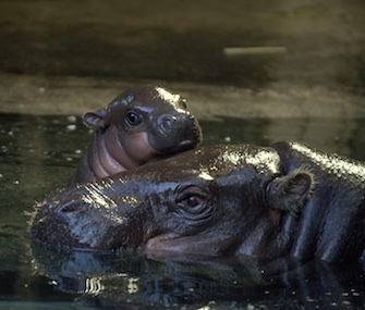 A baby pygmy hippo sticks by his mom's side at the Bristol Zoo.