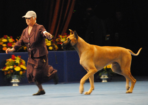 Great Dane, Working Group Winner for 2012 National Dog Show