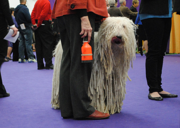 Komondor at Westminster