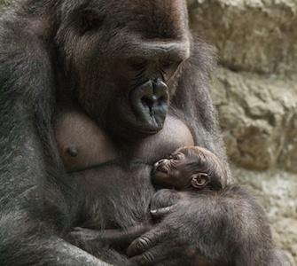 Baby Gorilla at the Buffalo Zoo