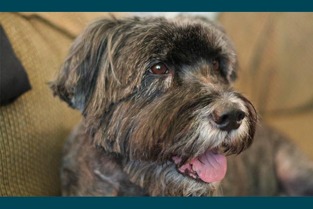 Doodle Dogs Bring Oodles of Joy Labradoodle Aussiedoodle Schnoodle