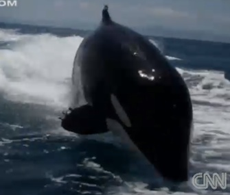 Diver Laura Howard captured video of a pod of killer whales following the boat she was on in Mexico.