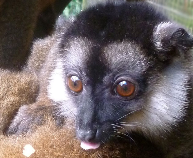 Jako the white-collared lemur