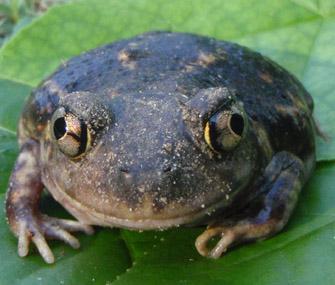frog staring