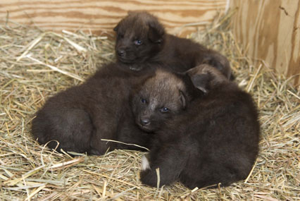Maned Wolf Litter