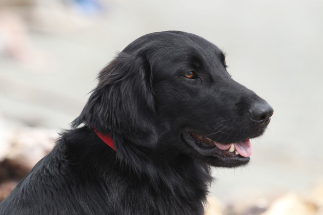 Flat-Coated Retriever  Carefree and Playful