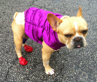 bulldog in booties and a vest