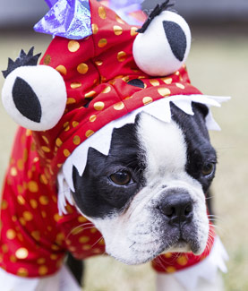 Puppy wearing costume