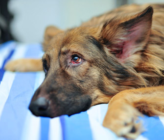 Sad German Shepherd