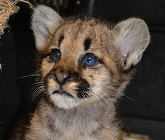 An orphaned cougar cub who was found on a homeowner's porch in Washington state has a new home at ZooAmerica in Pennsylvania.