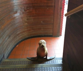 A sea lion pup was rescued after showing up at the entrance of the Beach Ball Bar in California.