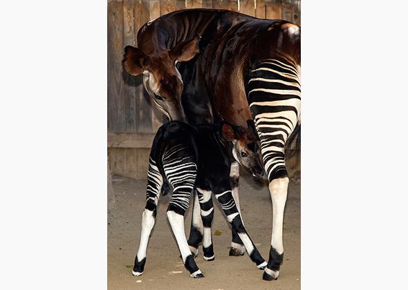 Jackson the okapi calf