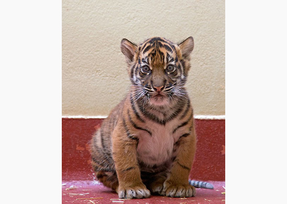 Sumatran tiger cub at the San Francisco Zoo