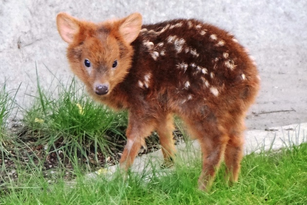 Pudu fawn at Detroit Zoo